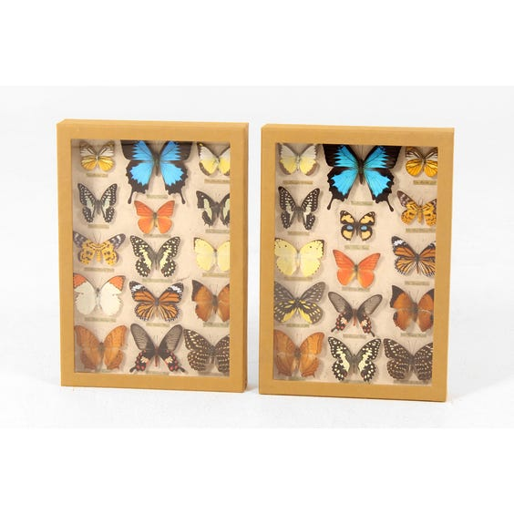 Assorted mounted butterflies image