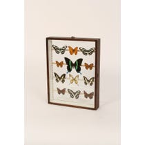 Twelve warm toned mounted butterflies
