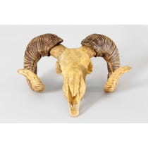 Sheep skull trophy with horns